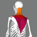 シュラッグのやり方3種類!首と肩を効果的に鍛える方法を紹介